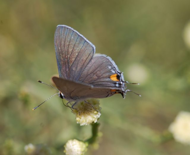 hairstreak-butterfly257