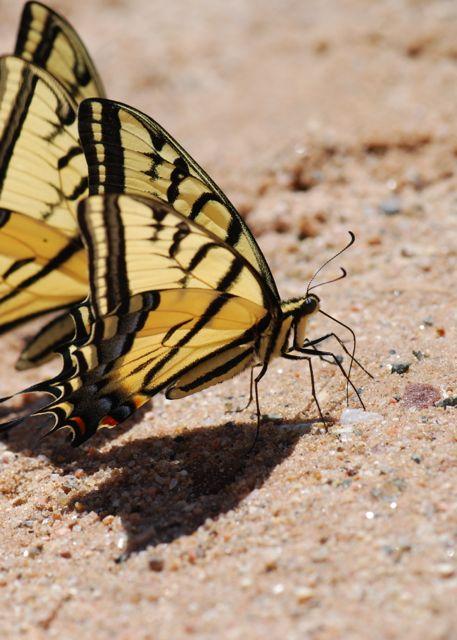nice-swallowtail-puddling