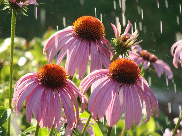 pink-coneflowers