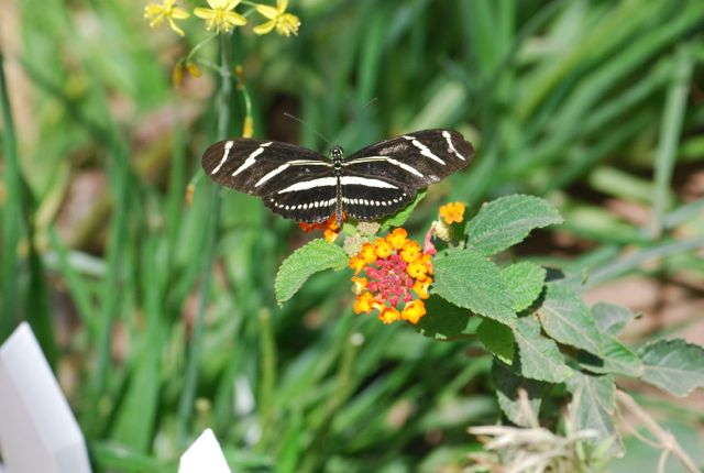zebra-butterly