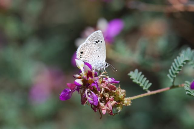 Reakirts-blue-butterfly-on-dalea-167
