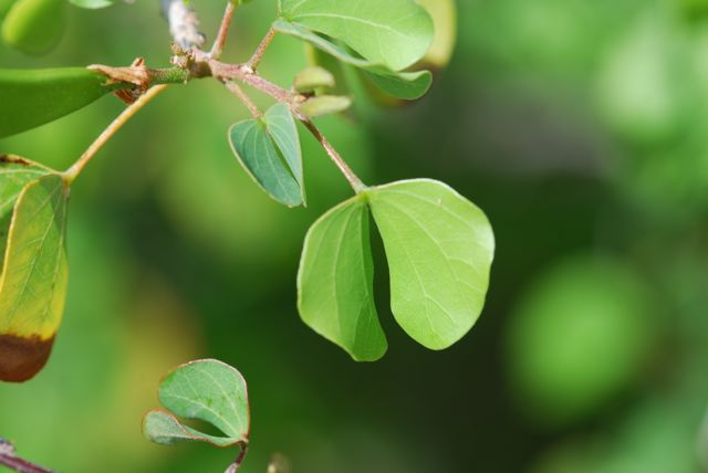 anacacho-orchid-leaves