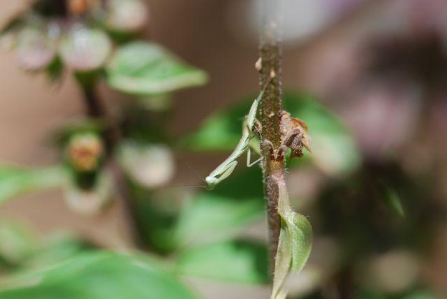 mini-mantis-be014