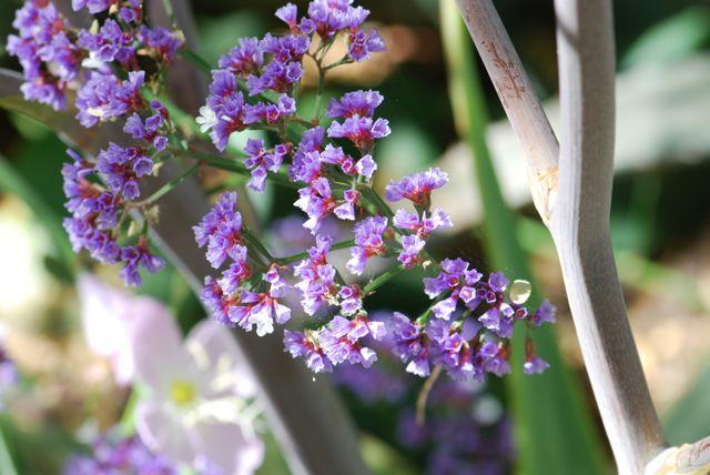 statice-flower-0166