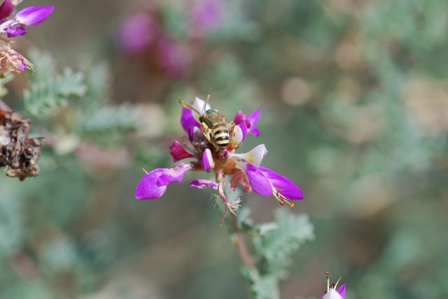 sweat-bee-on-dalea-010