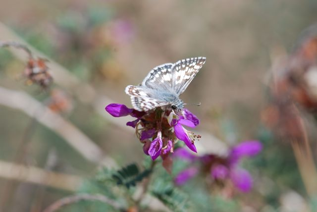 white-skipper-on-dalea-016