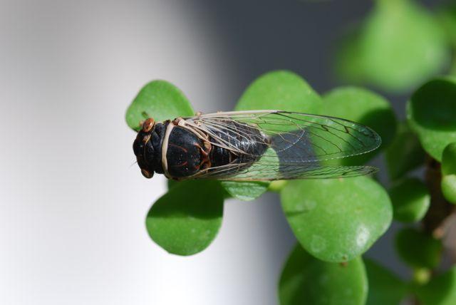 cicada-back-19