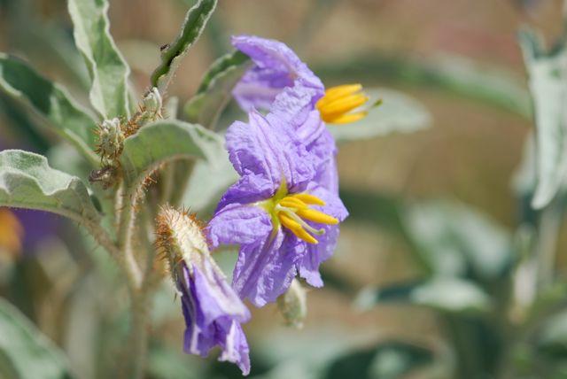 nightshade-purple-flower-104