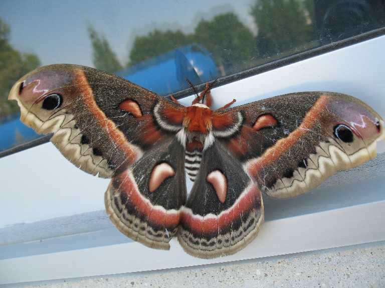 Hyalophora_cecropia1