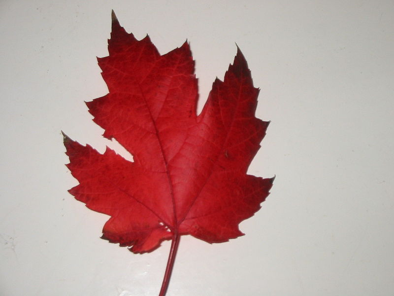 five-lobed-red-Maple_Leaf