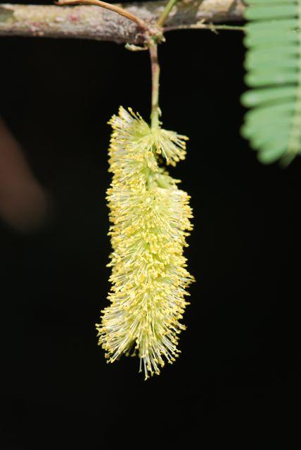 mesquite-flower