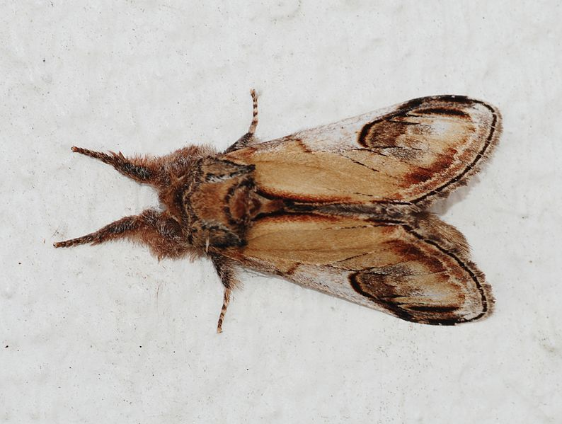 pebble-prominent-moth