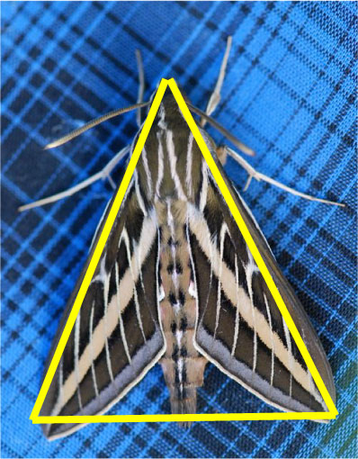 triangle-sphinx-moth