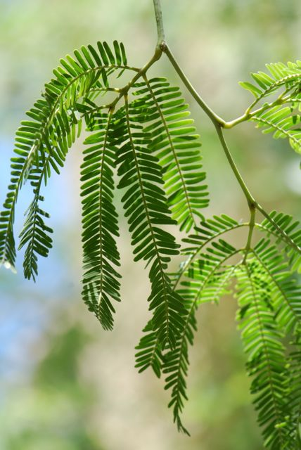 velvet-mesquite-leaves-good086