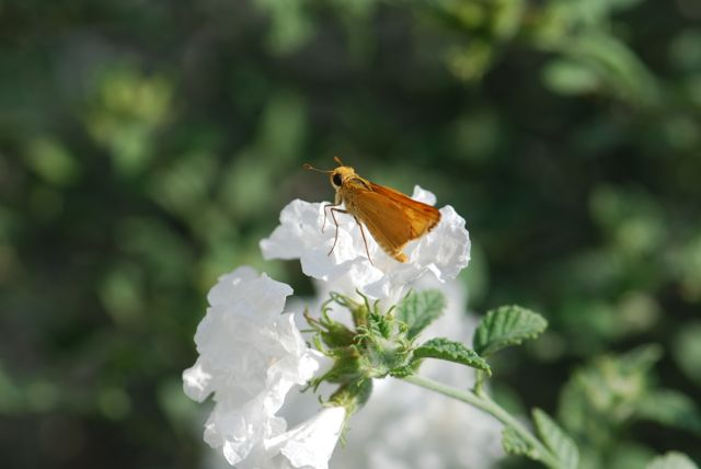skipper-on-cordia