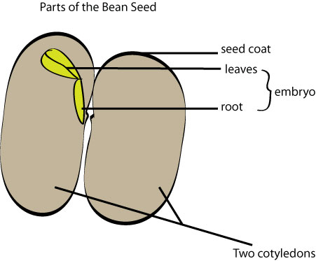 Bean-seed-parts
