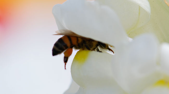 AA-honeybee-going-into-snapdragon-3