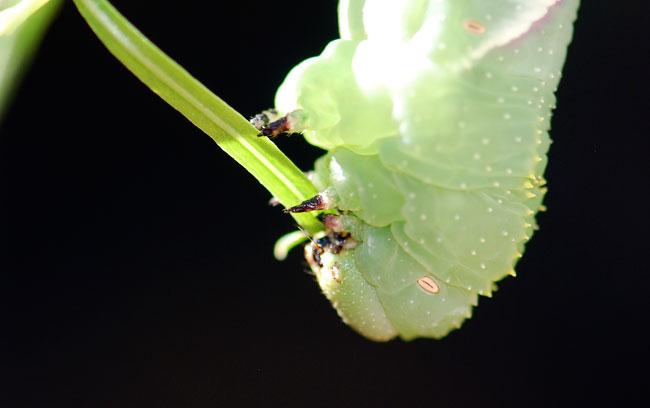 Manduca-rustica-caterpillar-head