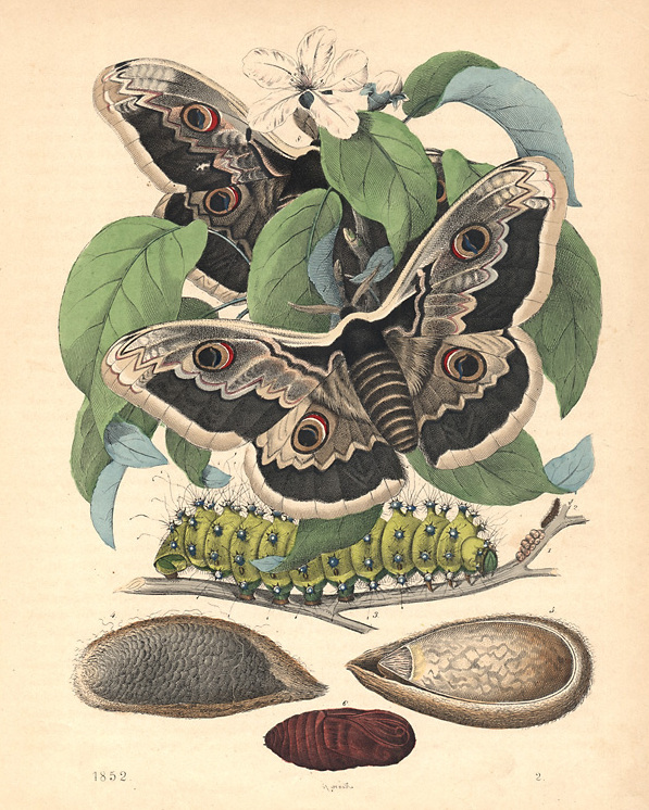 """Saturnia (Saturnia) pyri ([Denis & SchiffermŸller], 1775). The Great Peacock Moth. Wood engraving dated 1852. Original hand coloring.Page size: 26 x 20.2 cm ( 10.2 x 7.9 """"). Saturnia pyri, the Giant Peacock Moth, is a Saturniid moth which is native to Europe. It is the largest European Moth and is also called as the Giant Emperor Moth or the Viennese Emperor."""