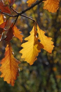 oak-leaves-872