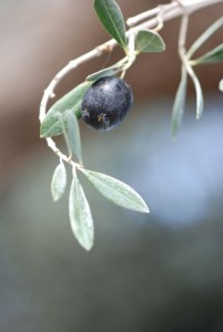 olive_0416