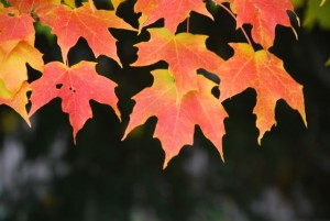 red-maple-leaves10
