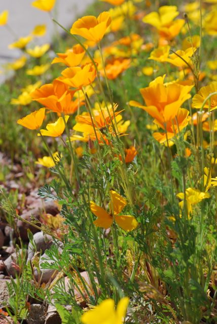 bright-California-poppies-front-yard