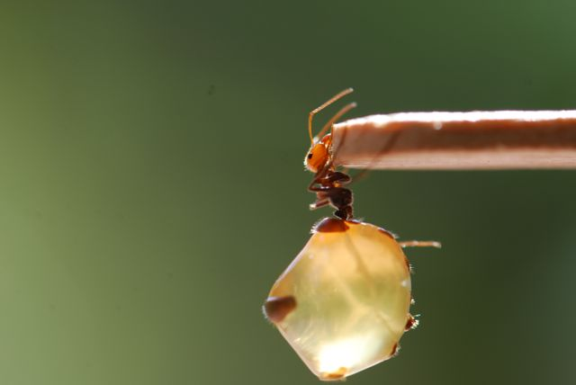 lovely-honeypot-ant-replete-8