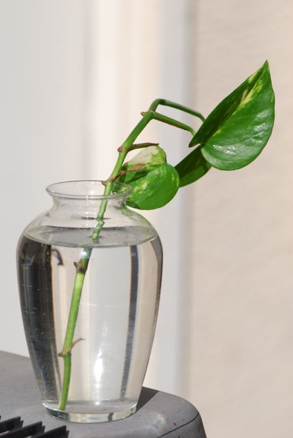 pothos-cutting