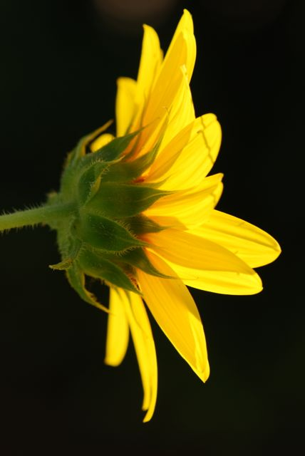 sunlit-sunflower-0144