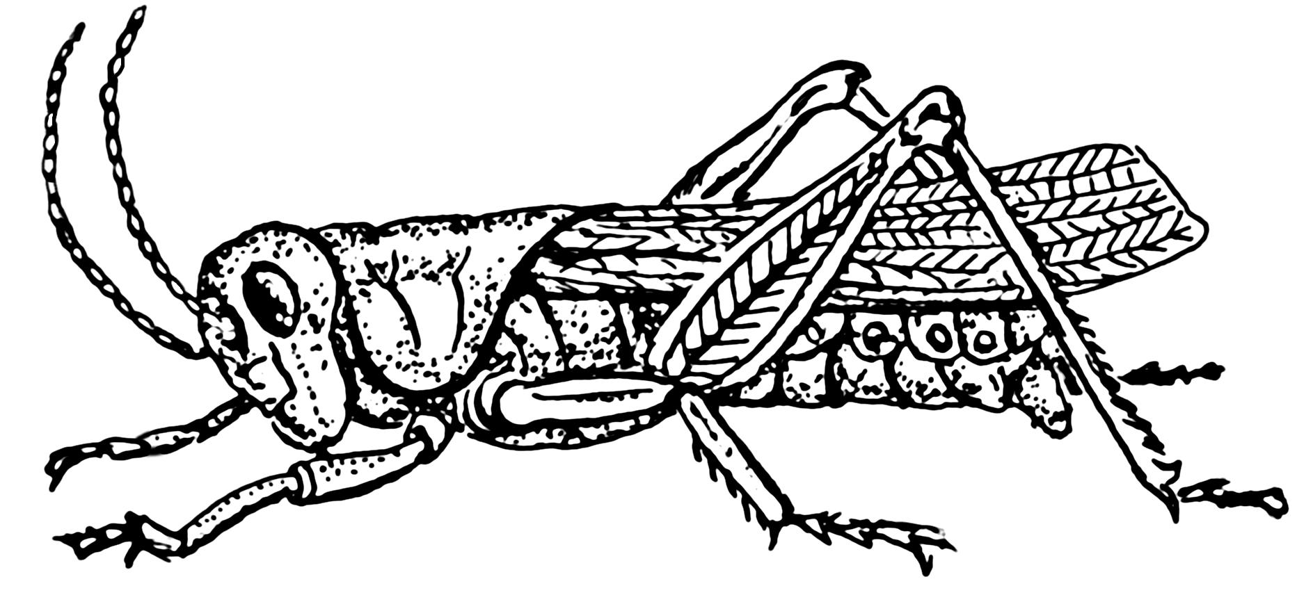 Grasshopper_2_