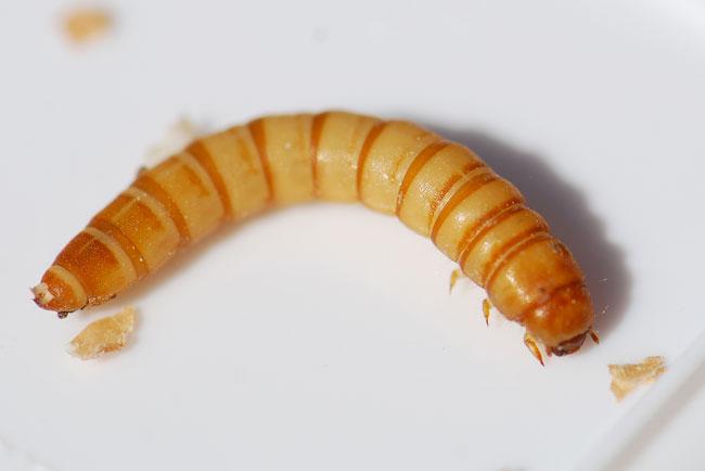 mealworm-larva-332