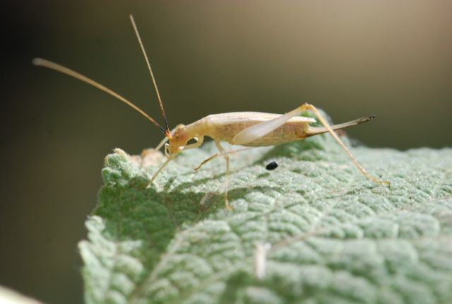 snowy-tree-cricket-1