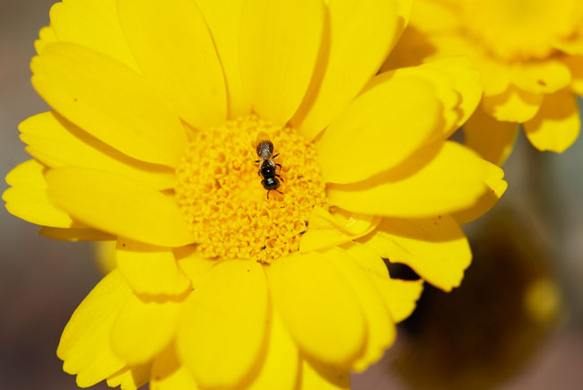 bee-on-yellow-2