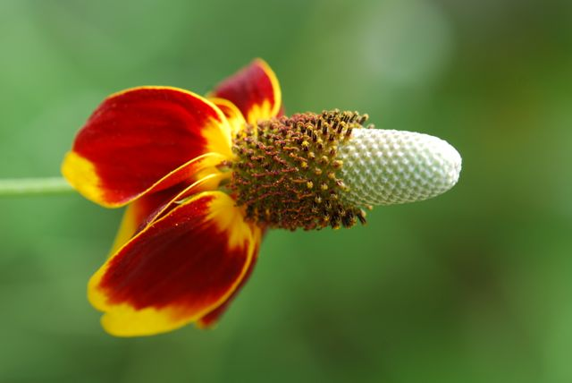 mexican-hat-flower354