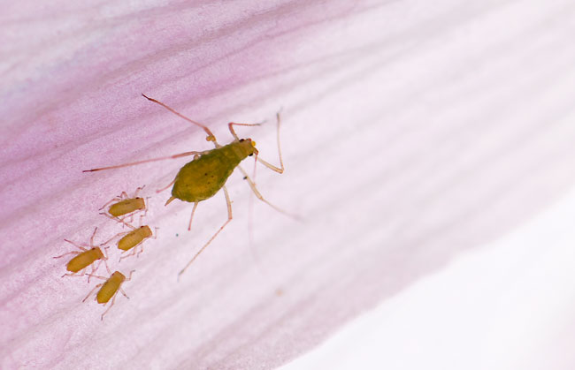 aphid-on-hollyhock