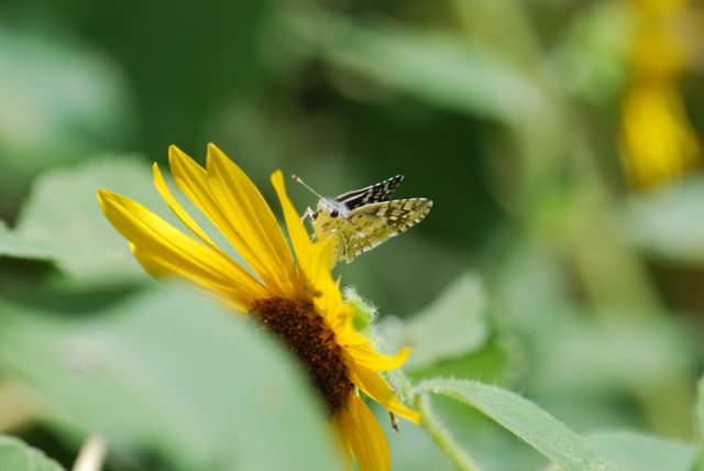 checkered-skipper-butterfly-closer-249