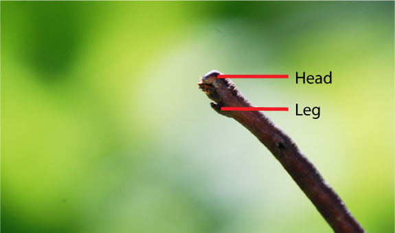 geometrid-caterpillar