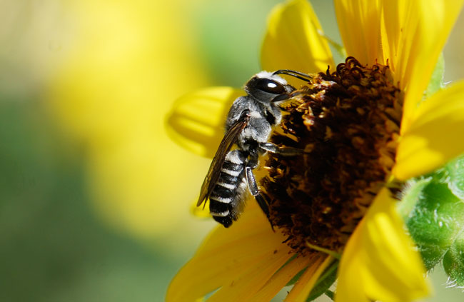 leafcutter-bee-cropped