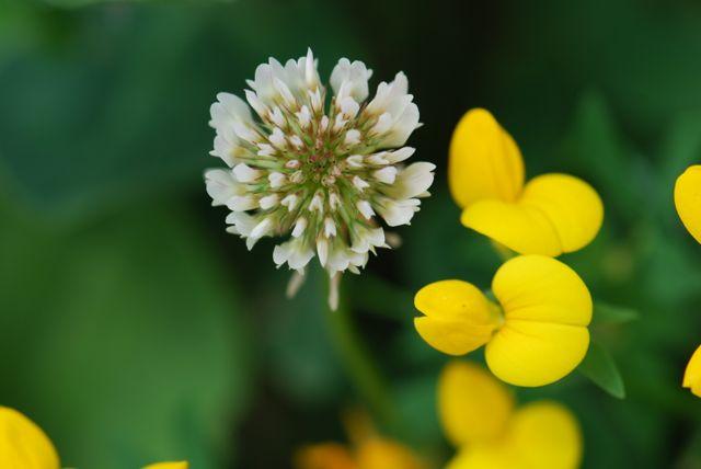 flower-clover-trefoil
