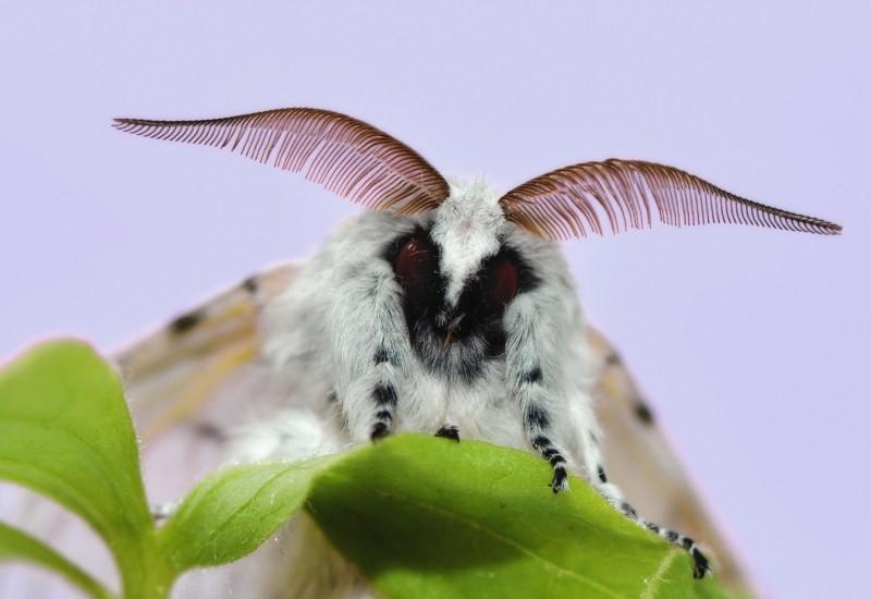 moth-cerura-vinula