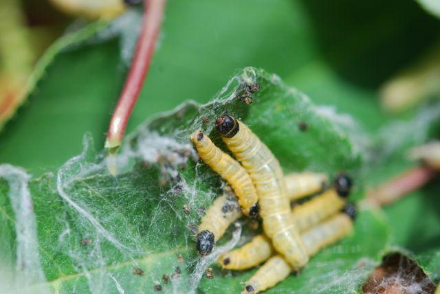 webspinning-sawfly-larvae10