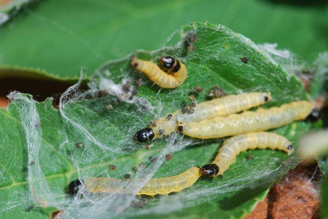 webspinning-sawfly-larvae_0021