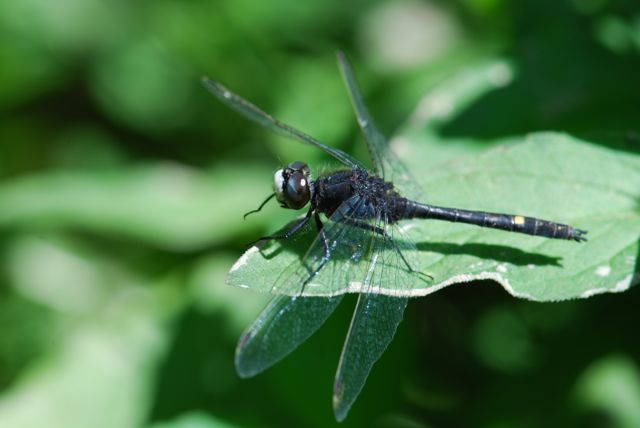 white-faced-dragonfly-close_0651