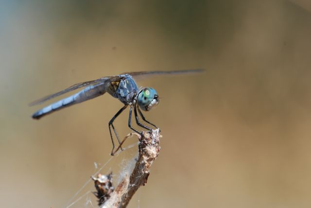 blue-dasher-dragonfly-0275