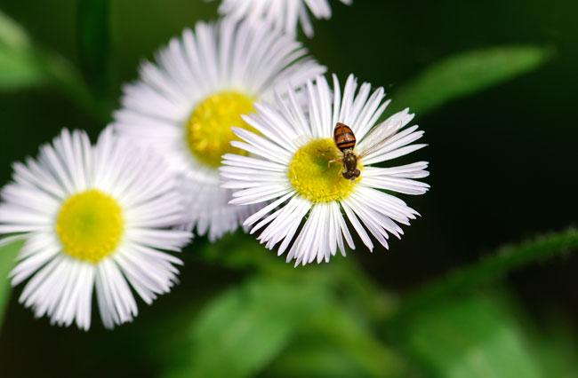flower-fly_0346