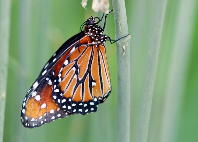 freshy-emerged-queen-butterfly-241