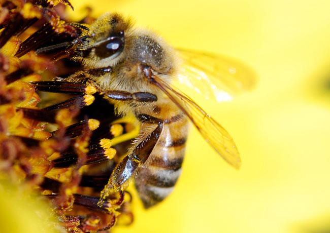 honey-bee-pollen-basket-251