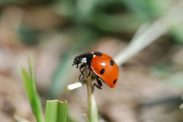 Friday #STEM:  How Lady Beetles Fly