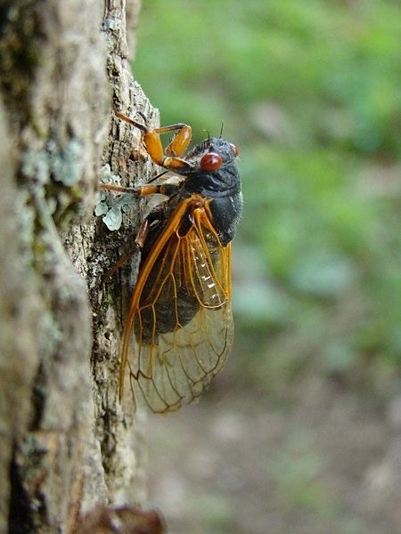 STEM Friday #Kidlit A Cicada Book is Coming!